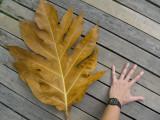 Giant leaf, Koh Chang, Thailand