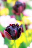 Tulips, Holland, Michigan
