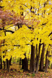 Pennsylvania - Yellow forest, State College, Fall Colors