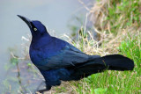 Blue bird, Thomas Jefferson Park, Dallas