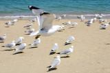 Sea Gull, Flight from Chicago