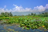 Lotus plants