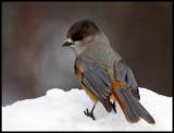 Siberian Jay - Neljän Tuulen Tupa - Kaamanen