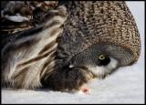 Great Gray Owl feeding on meat- Tornio