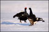 Black grouse morning exercise....