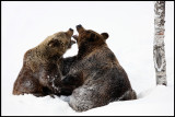 Brown Bears (Ursus arctos) first day out season...