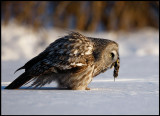 Great Gray Owl with mouse - Tornio