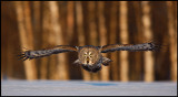 Great Gray Owl - The last evening light - Tornio