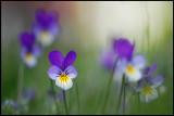 Violets (Viola tricolor) - Växjö