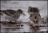 Purple Sandpipers at Nesseby