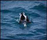 Long-tailed Duck dive