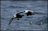 Mates.......two male Eiders