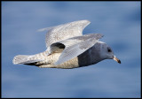 Iceland Gull in Vadsö harbour