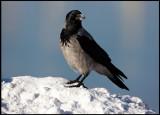 Hooded crow in vadsö harbour