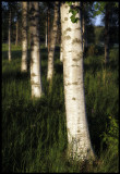 Finland The land of birches