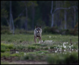 Wolf (Canis lupus) visiting an old carrion