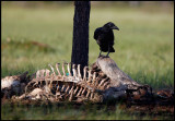 A Raven at the remains of a carrion