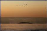 Goosanders flying over Blå Jungfrun - Baltic sea