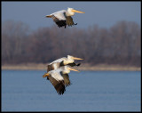 Pelicans flying to overnight place