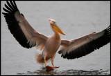 Adult White Pelican landing in Kerkini