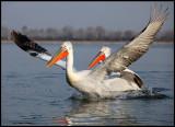 Dalmatian Pelicans chase