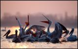 Dalmatian Pelicans in Kerkini sunrise