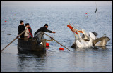 Fisherman Tom and family, feeding pelicans in the evening