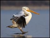 Immature Dalmatian Pelican landing