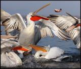 Pelicans catching fish