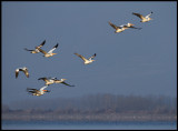 Pelicans gathering in south end of lake Kerkini in the evening