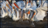 Dalmatian Pelicans gathering (do you have fish for us?)