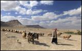 Shepard bringing his herd down for drinking - Sed Wadi Abied
