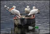 Dalmatian pelicans resting on a boat