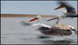 Dalamatian Pelicans in flight