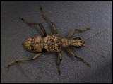 Longhorn beetle (Lövträdlöpare, Rhagium mordax) on my camping table...... Urshult