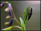 Beetle on  top of flower (Gökärt, Lathyrus linifolius) - Notteryd