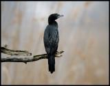 Pygmy Cormorant  (Phalacrocorax pygmeus) - Kastoria
