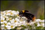 Early Bumblebee - Ängshumla (Bombus pratorum) feeding on our Spirea