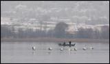 Mute Swans in Lake Kastoria
