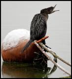 Pygmy Cormorant in Kastoria harbour