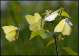 Brimstone (Gonepteryx rhamni - Citronfjärilar) One female willing to mate is attracting three males - Vikensved