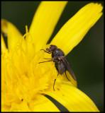 Fly feeding on hind legs