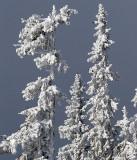 Snowcovered trees - Dalarna