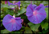 Blue flowers after rain