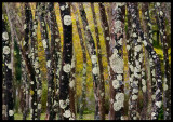 Trees with lichen - The Azores