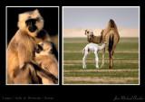 Langur & Dromedar babies