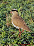 Caped Plover