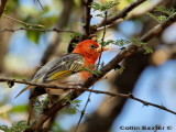 Red Brested Weaver
