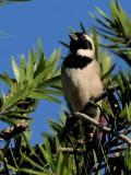 600sparrow2P4124901.jpg