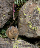 Pika4984-4Aug2008-Trappers.jpg